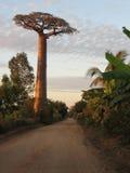 Baobab Arkivfoton