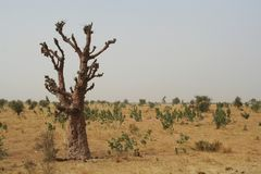 Baobab Immagini Stock Libere da Diritti