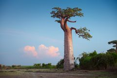 baobab Photos stock