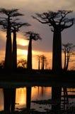 Baobab photos libres de droits