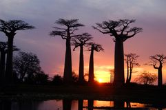 Baobab. Field of Baobab trees in Madagascar Royalty Free Stock Images