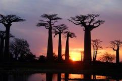 Baobab Imagens de Stock Royalty Free
