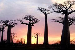 Baobab. Field of Baobab trees in Madagascar Stock Photo