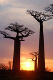 Baobab. Field of Baobab trees in Madagascar Stock Images