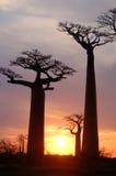 Baobab Images stock