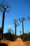 Baobab photos stock