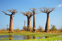 Baobab Royalty-vrije Stock Afbeelding