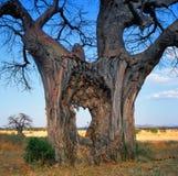 baobab Lizenzfreie Stockbilder