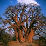 baobab Immagine Stock