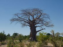 Baobab Photographie stock