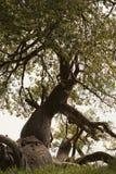 baobab Imágenes de archivo libres de regalías