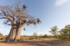 baobab Fotografía de archivo