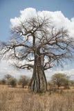 Baobab Foto de Stock Royalty Free