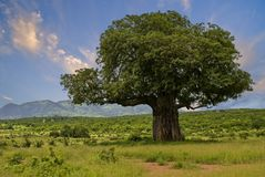 Baobab Royalty Free Stock Image