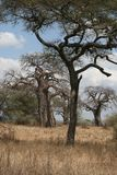 Baobab and acacia Royalty Free Stock Photos