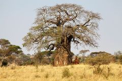 Baobab (Adansonia digitata) Stockbilder