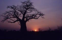 Baobab, Adansonia digitata zdjęcie royalty free