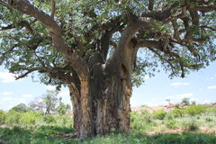 Baobab, Adansonia digitata at Mapungubwe National Park, Limpopo Stock Images