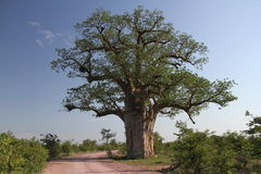 Baobab, Adansonia digitata at Mapungubwe National Park, Limpopo Stock Photography