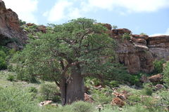 Baobab, Adansonia digitata at Mapungubwe National Park, Limpopo Royalty Free Stock Photos