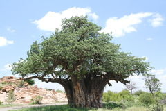 Baobab, Adansonia digitata at Mapungubwe National Park, Limpopo. Province, South Africa. Trees in summer leaf Royalty Free Stock Photos