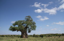 Baobab, Adansonia digitata at Mapungubwe National Park, Limpopo Royalty Free Stock Photography