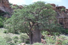 Baobab, Adansonia digitata at Mapungubwe National Park, Limpopo Stock Photos