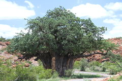 Baobab, Adansonia digitata at Mapungubwe National Park, Limpopo Royalty Free Stock Image
