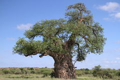 Baobab, Adansonia digitata an Nationalpark Mapungubwe, der Limpopo Stockbilder