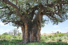 Baobab, Adansonia digitata an Nationalpark Mapungubwe, der Limpopo Stockfoto