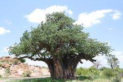 Baobab, Adansonia digitata przy Mapungubwe parkiem narodowym, Limpopo zdjęcia royalty free