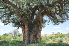 Baobab, Adansonia digitata przy Mapungubwe parkiem narodowym, Limpopo Zdjęcie Stock