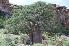 Baobab, Adansonia digitata przy Mapungubwe parkiem narodowym, Limpopo Zdjęcia Stock