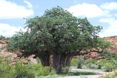 Baobab, Adansonia digitata przy Mapungubwe parkiem narodowym, Limpopo Obraz Royalty Free