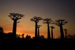 Baobab - Adansonia grandidieri stockbild