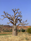 Baobab in africa countryside Royalty Free Stock Photos