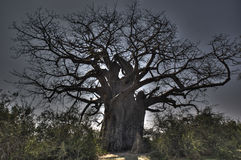 Baobab effect Stock Photos