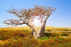 Baobab africano Immagine Stock