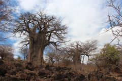Baobab africano Fotografia Stock