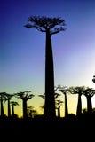 Baobab al tramonto Fotografie Stock