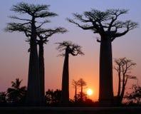 Baobab aleja Zdjęcia Stock