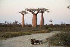 Baobab aleja przy zmierzchem - Madagascar Obraz Royalty Free