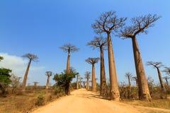 Baobab allee Royalty Free Stock Photos