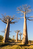 The Baobab Alley Royalty Free Stock Images