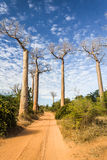 The Baobab Alley Stock Photo