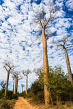 The Baobab Alley Royalty Free Stock Photo