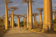 Baobab Alley in Madagascar, Africa. Beautiful and colourful land. Scape with baobab in background royalty free stock photography