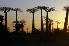 Baobab Alley at sunset Stock Image