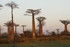 Baobab Alley at sunset Stock Photography