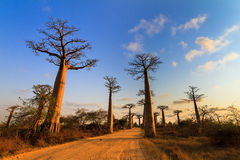 Baobab alley vibrance Royalty Free Stock Images